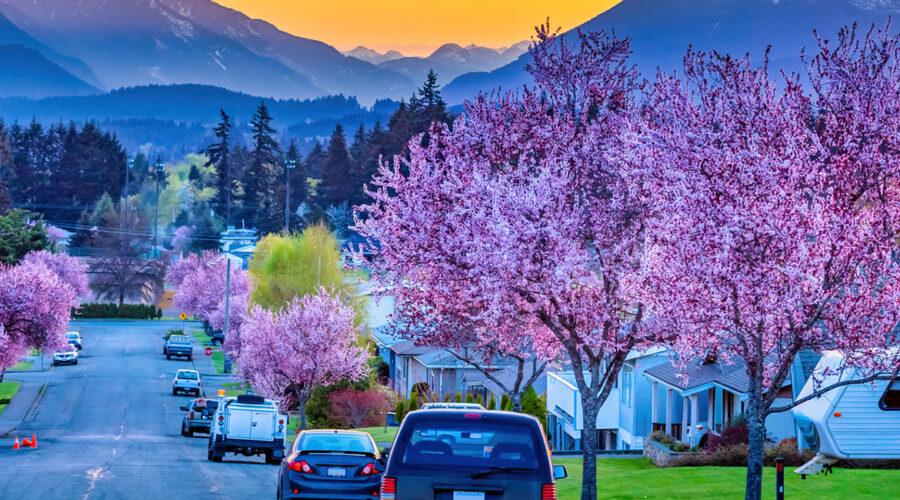 Cherry blossoms in Port Alberni